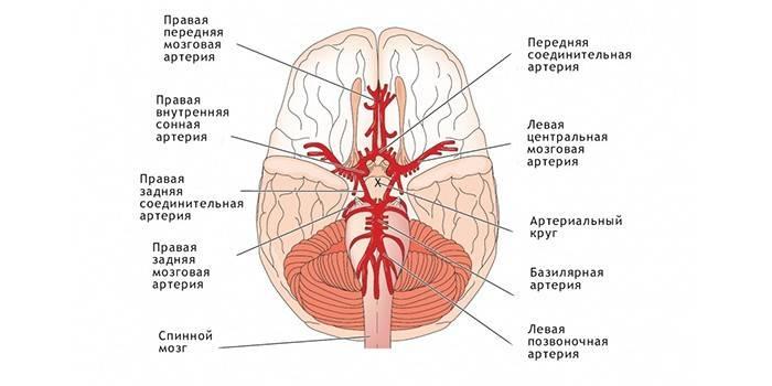 Виллизиев коло - функції та будова, терапія і профілактика захворювань