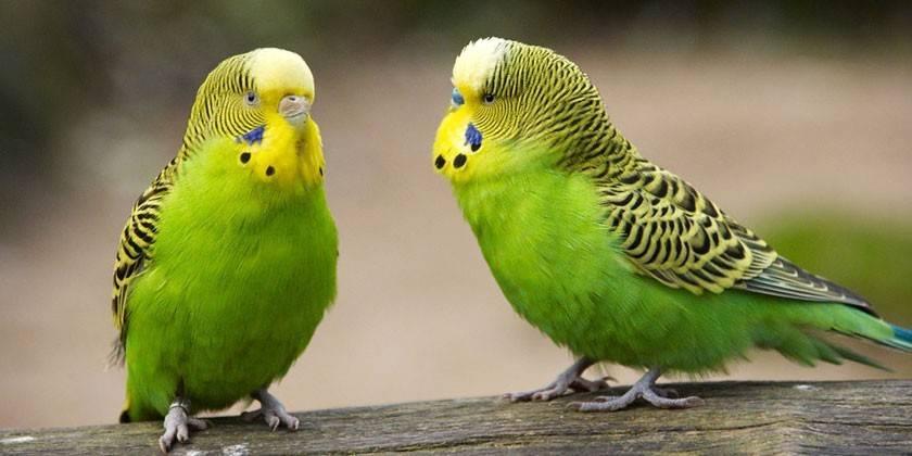 Імена для папуг - перелік оригінальних і красивих, для хлопчиків або дівчаток