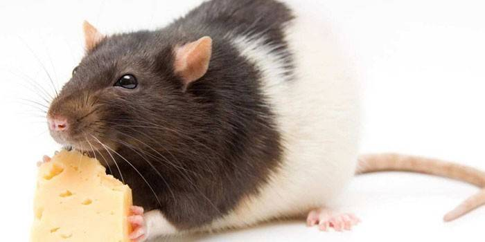 До чого сняться пацюки - значення і тлумачення сноведений для чоловіків і жінок сонники