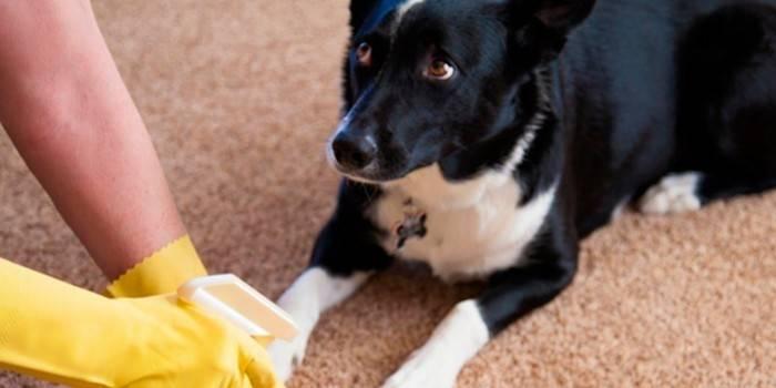 Як позбавитися від запаху собаки в квартирі - народні способи