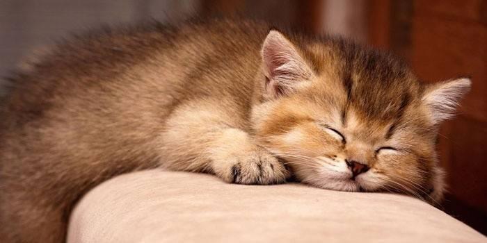 Як вивести бліх у кішки - ефективні засоби боротьби в домашніх умовах з цінами