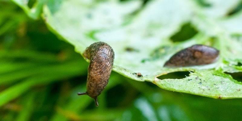 Обробка капусти від шкідників - огляд кращих способів з описом і фото