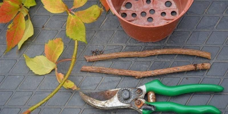 Як розмножити дівочий виноград з допомогою живцювання, насіння або відводками
