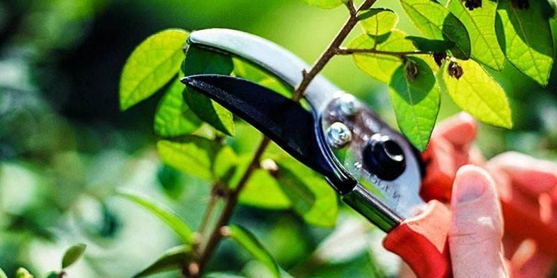 Чи можна обрізати дерева влітку - як правильно провести без шкоди для рослини