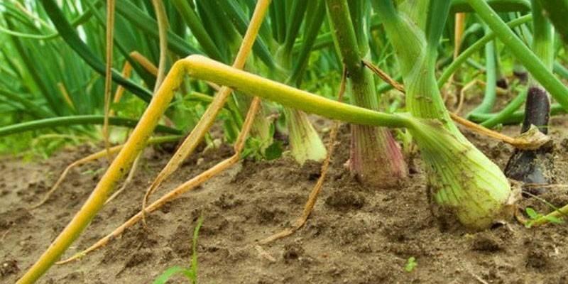 Чим підживити цибулю, щоб не жовтів - методи боротьби з шкідниками і хворобами