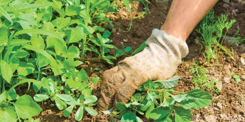 Дротянка в картоплі – як позбутися від жука
