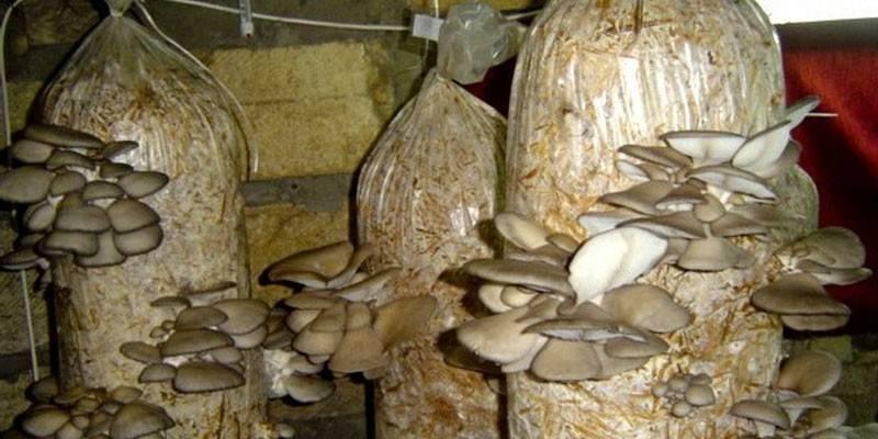 Вирощування гливи в домашніх умовах - способи і технологія розведення грибів, вибір міцелію та догляд