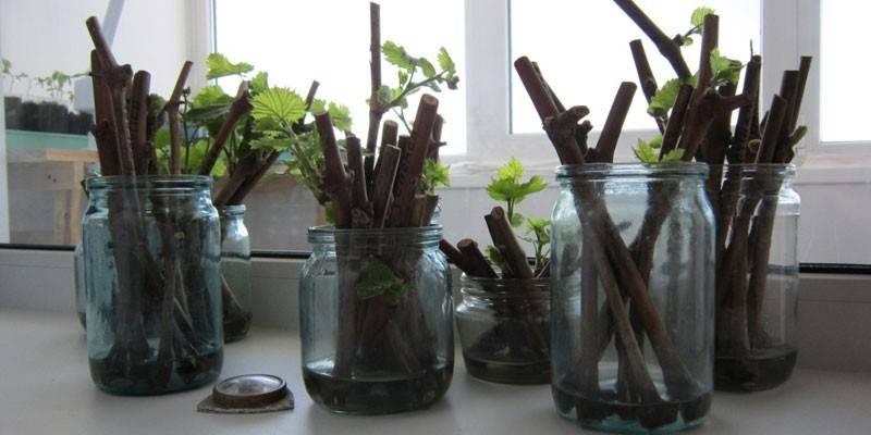 Посадка живців винограду - як правильно підготувати чубуки в домашніх умовах і коли краще висаджувати