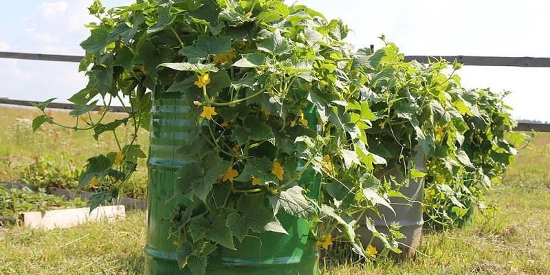Вирощування огірків у бочці: фото і відео технології