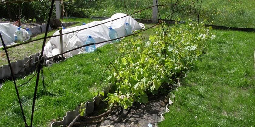 Догляд за виноградом навесні початківцям, відео