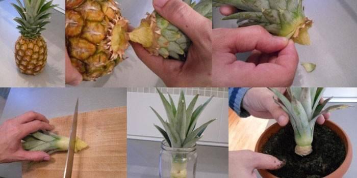Як посадити ананас вдома - пророщування верхівки, підживлення та профілактика хвороб