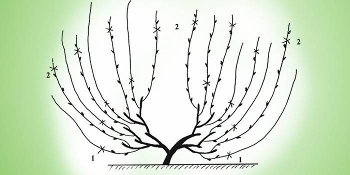 Обрізка винограду для формування, омолодження куща зі схемами