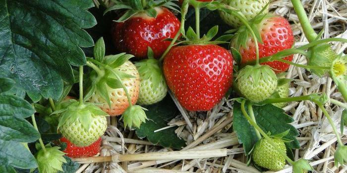 Чим підживити полуницю: поради по правильному догляду за ягодою у весняний, літній та осінній періоди