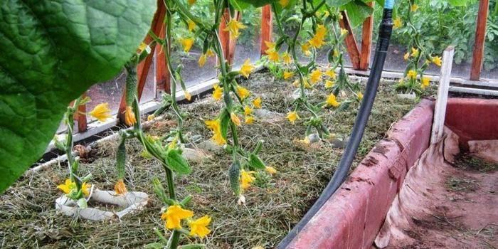 Підживлення огірків в теплиці з полікарбонату - які засоби допоможуть виростити багатий урожай