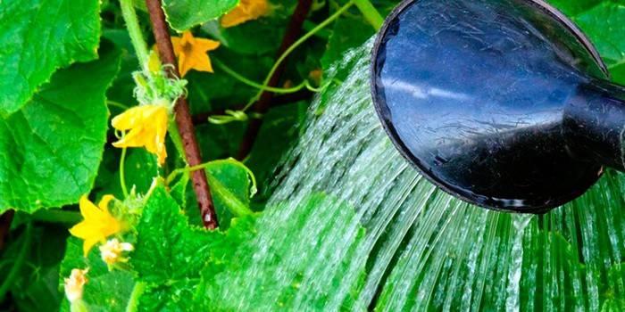 Як часто поливати огірки, щоб забезпечити хороший урожай