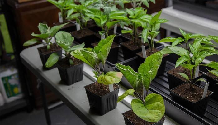 Розсада баклажанів в домашніх умовах: вирощування, підживлення та догляд