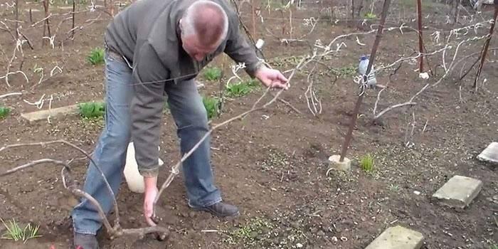 Обрізка винограду для початківців навесні і восени