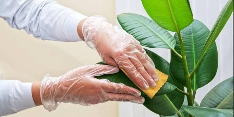 Як позбутися від щитівки на кімнатних рослинах - механічні способи та план обробки