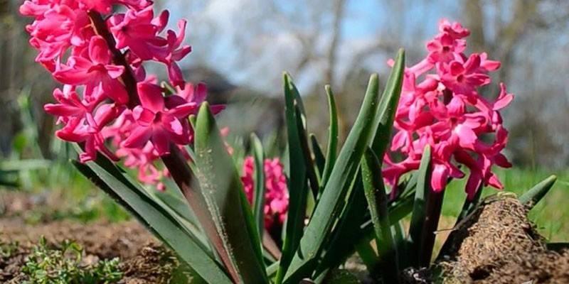 Гіацинт в горщику – догляд в домашніх умовах за рослиною
