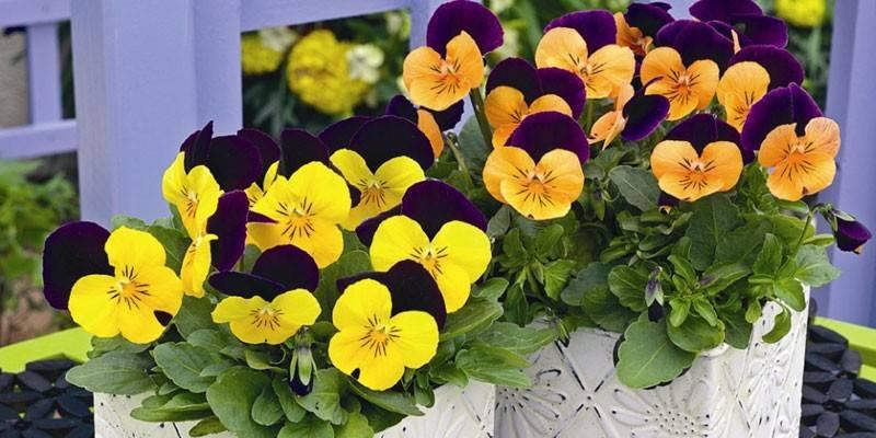 Посадка віоли для розсади - як виростити квітку в домашніх умовах