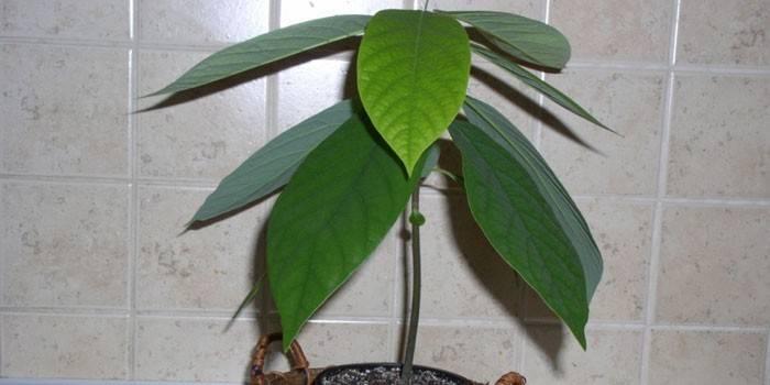 Як посадити авокадо - як правильно поливати, поради по вирощуванню з фото та коментарями