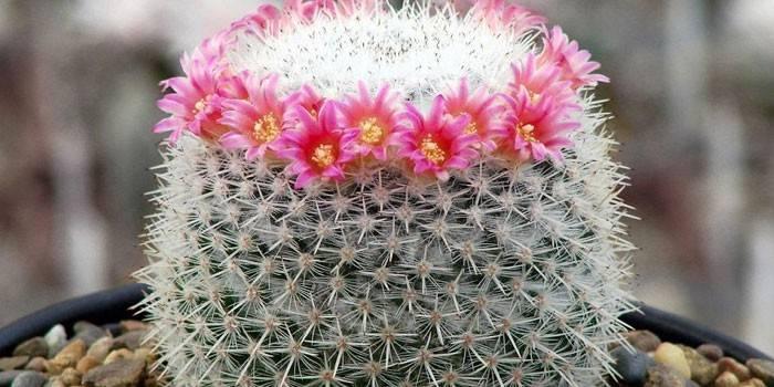 Догляд за кактусами - розведення: вибір грунту і полив, пересадка і розмноження, освітлення і цвітіння кімнатної квітки
