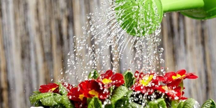 Як поливати квіти в горщиках в домашніх умовах, щоб вони краще росли