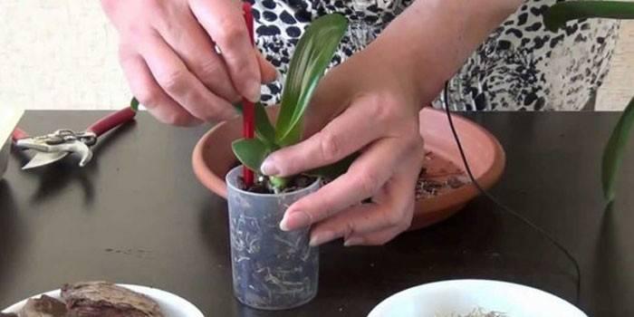 Коли пересаджувати орхідею в горщик: покрокова інструкція догляду за рослиною, фото і відео
