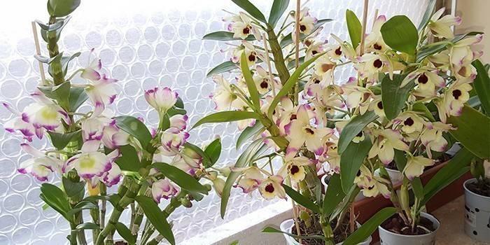 Орхідеї дендробіум - види і опис: як доглядати за квіткою