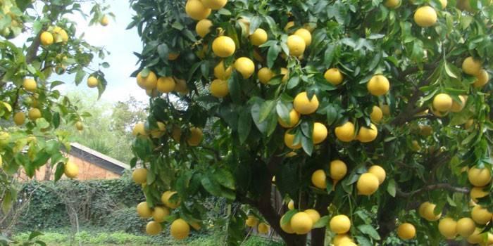 Лимонне дерево - як виростити вдома з кісточки, вибір грунту, полив, обрізка і розмноження