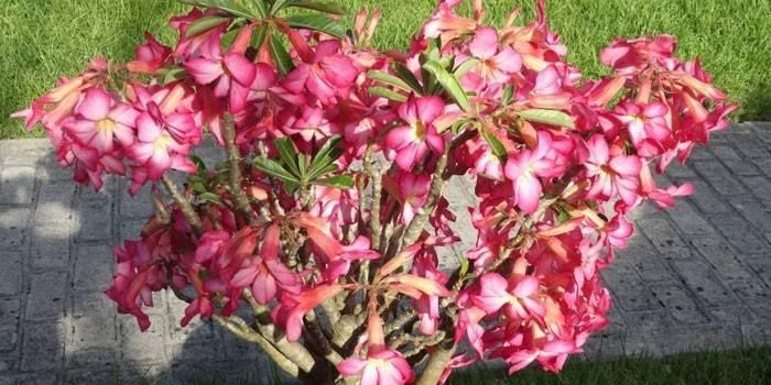 Аденіум - види квітки з фото, утримання, розмноження, вибір грунту, полив і обрізка будинку