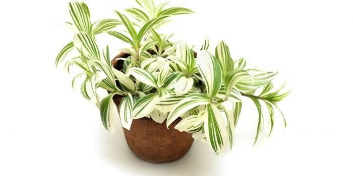 Традесканція - як виглядає квітка і його Батьківщина, різновиди і лікувальні властивості з рецептами