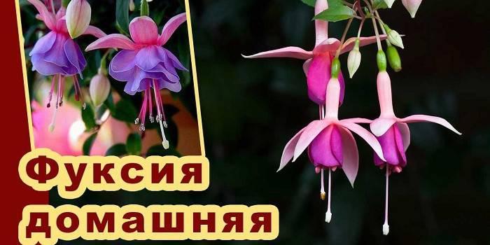 Фуксія – вирощування і догляд в домашніх умовах, опис рослини і сорти з фото