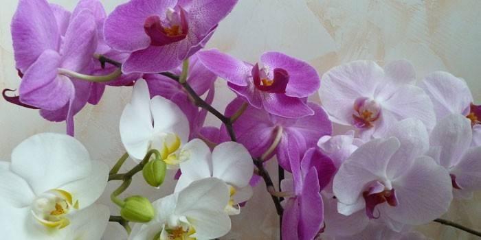 Як поливати орхідею в домашніх умовах під час цвітіння і взимку