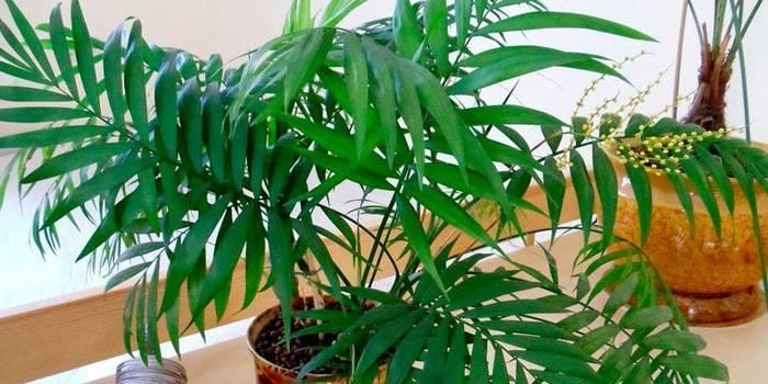 Хамедорея - догляд в домашніх умовах за кімнатною квіткою