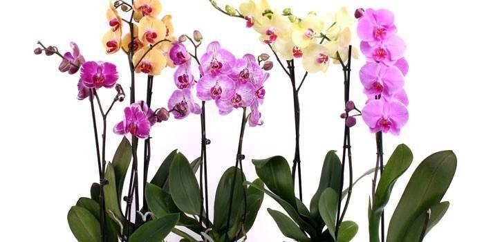 Орхідея Фаленопсис – догляд в домашніх умовах і полив, розмноження, пересадка і хвороби рослини