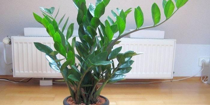 Заміокулькас - догляд в домашніх умовах, як вирощувати і пересаджувати рослину