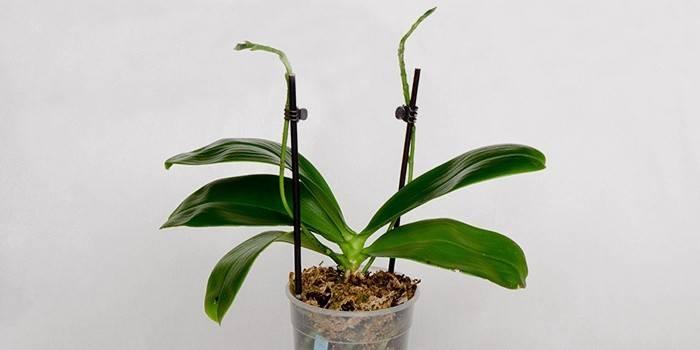 Чому не цвіте орхідея в домашніх умовах, а листя Фаленопсиса ростуть