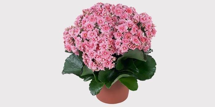 Каланхое: догляд в домашніх умовах за декоративною квіткою Каландива