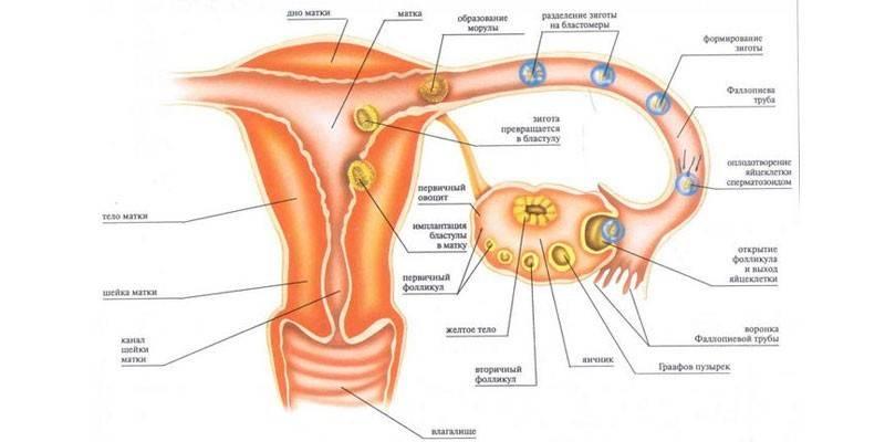 Чи можуть бути місячні при вагітності в першому, другому або третьому триместрі - чому починаються