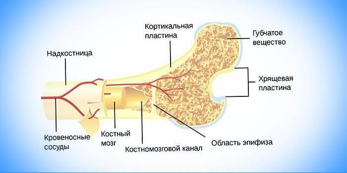 Кістковий мозок: які функції виконує, де знаходиться і як виглядає, будова та особливості кровотворної системи