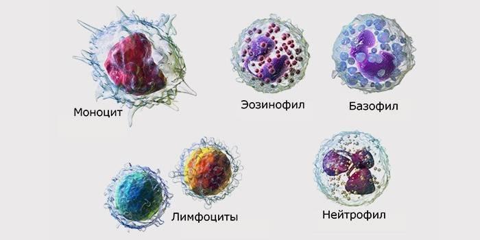Норма лейкоцитів в крові у жінок: розшифровка аналізу і таблиця