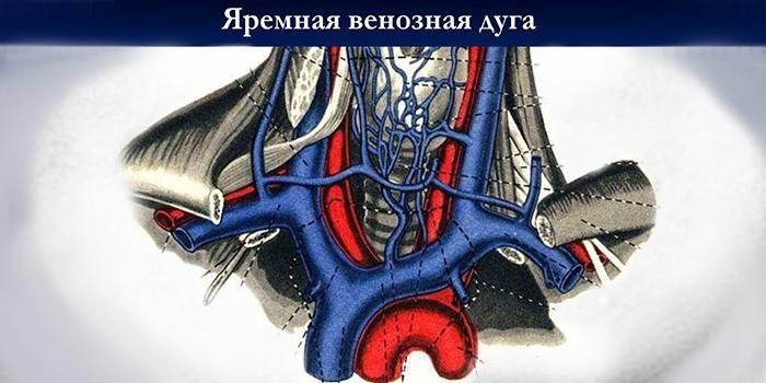 Яремна вена: анатомія і функції судини, методи лікування патологій і катетеризація