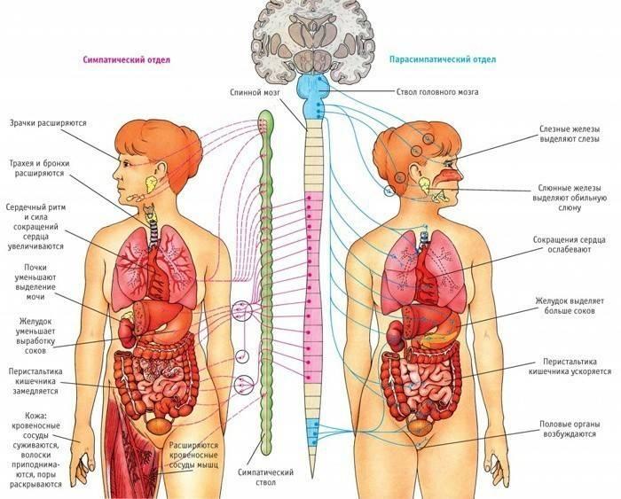Симптоми вегетосудинної дистонії: всі ознаки і прояви хвороби