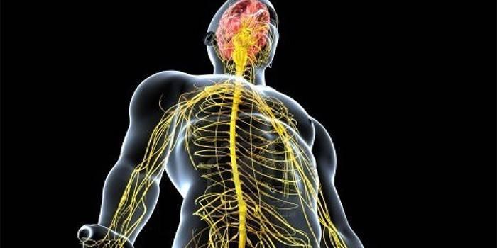 Соматична нервова система та її роль в організмі людей - якими управляє нервами