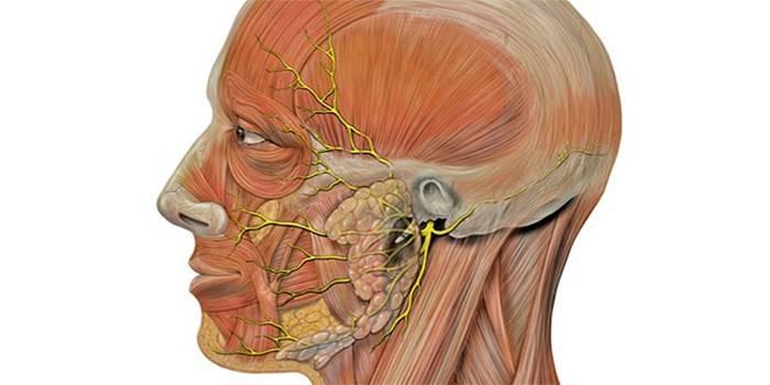 Лицьовий нерв - що це таке, що робити при його запаленні, причини і діагностика хвороби