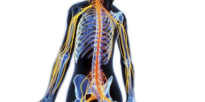 Периферична нервова система: з чого складається