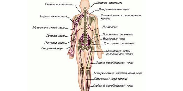 Спинномозкові нерви в організмі людини - будова, функції та формування