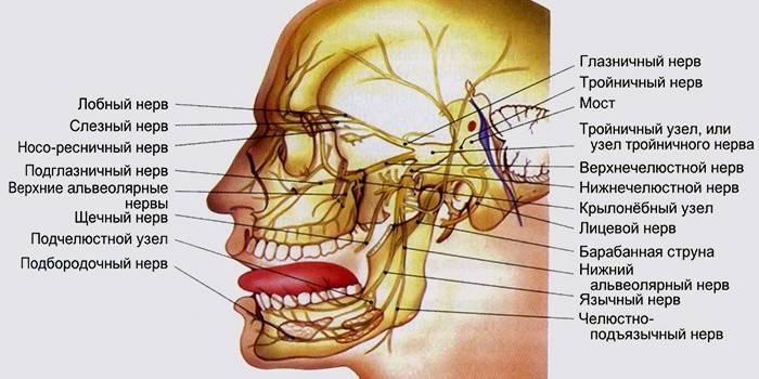 Трійчастий нерв особи: симптоми і лікування запалення в домашніх умовах