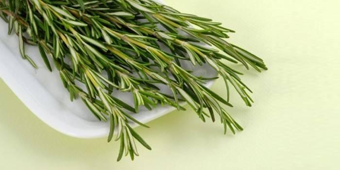 Розмарин – лікувальні властивості і протипоказання, показання та приготування чаю, відвару і настоянки